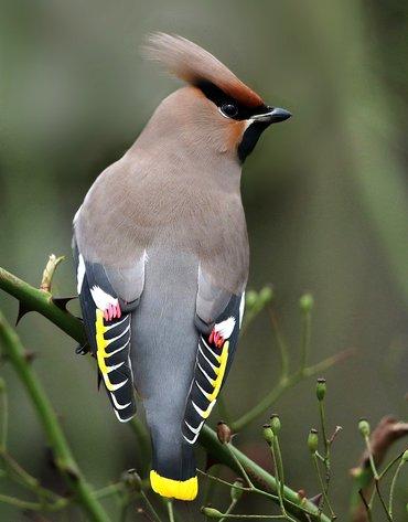 Pestvogel / Ruwan Aluvihare