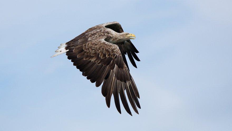 Zeearend / Birdphoto