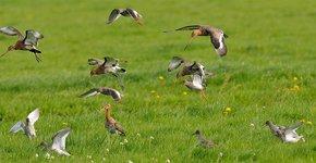 Weidevogels / Jelle de Jong