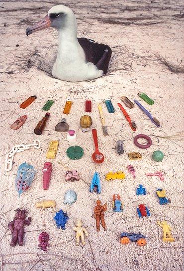Laysan albatross / Frans Lanting