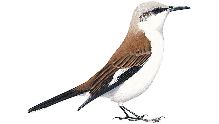 Witbuikwipstaart / BirdLife