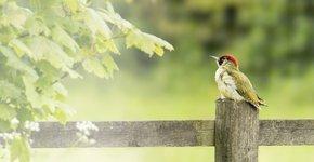 Groene specht / Shutterstock