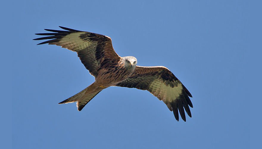 Rode wouw / Birdphoto