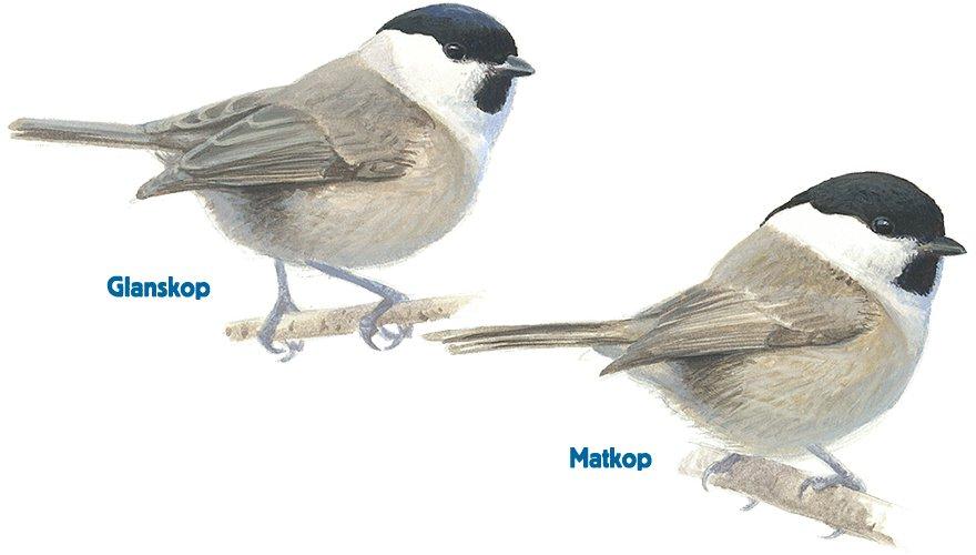 Infographic glanskop - matkop