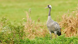 Kraanvogel / Jelle de Jong