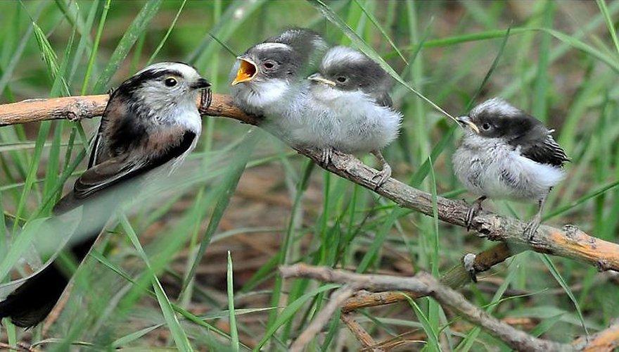 Staartmees / JPieper (Vogelweb)