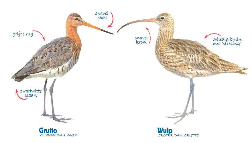 Infographic grutto - wulp