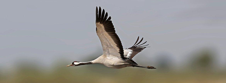 Kraanvogel / Ruwan ALuvihare