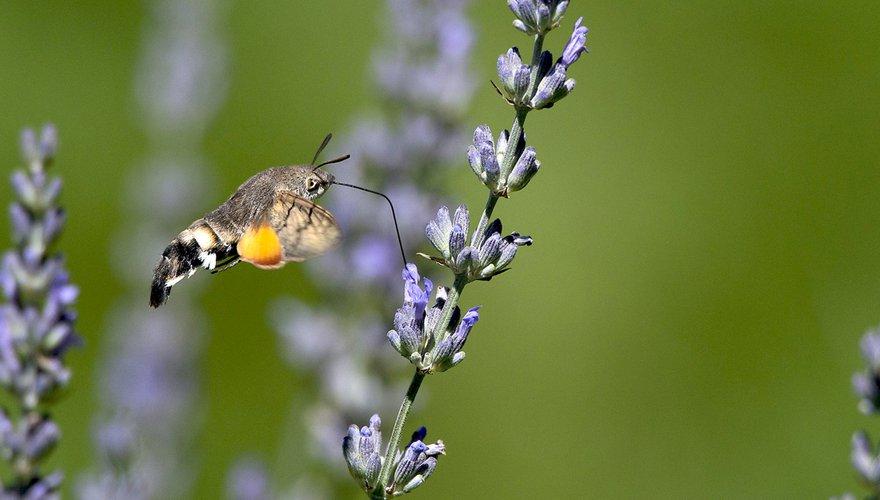 Kolibrievlinder / Pixabay