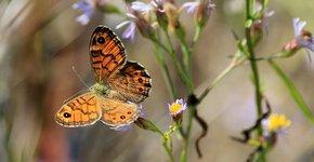 Argusvlinder / Shutterstock