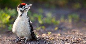 Jonge grote bonte specht / Shutterstock