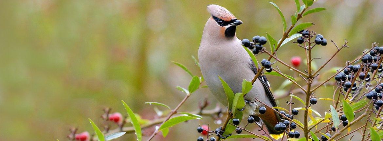 Pestvogel op liguster / Shutterstock