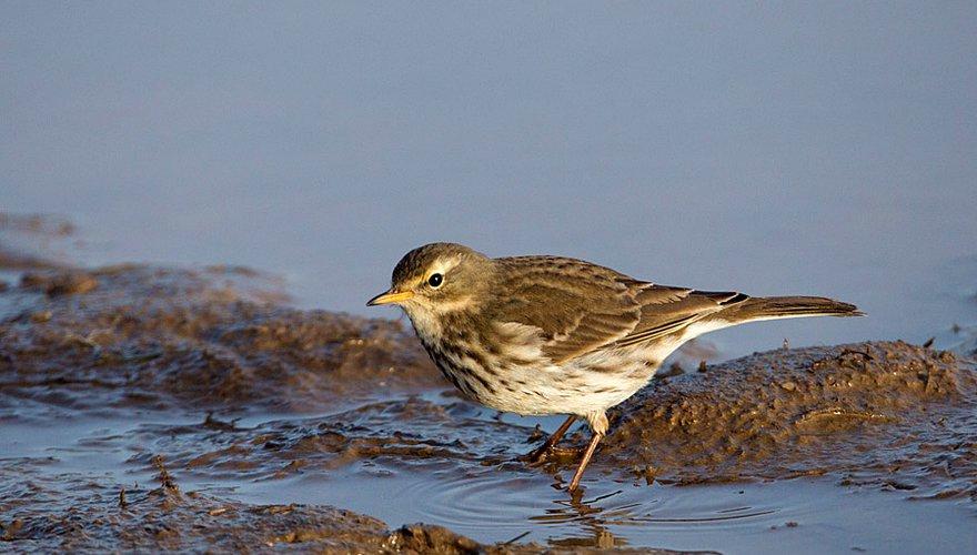 Waterpieper / Birdphoto