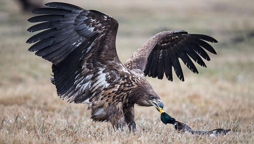 Zeearend / Gerke Visser - Vogelweb