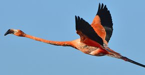 Caribische Flamingo / Shutterstock