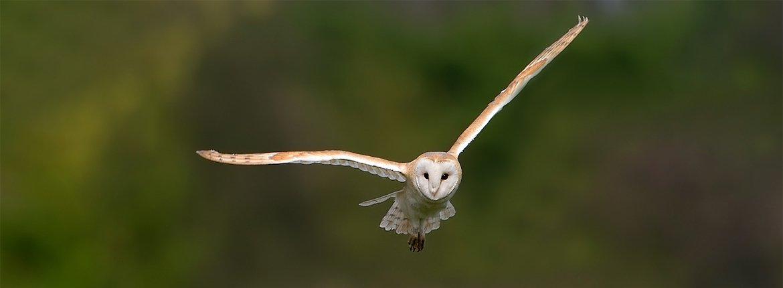 Kerkuil / Birdphoto