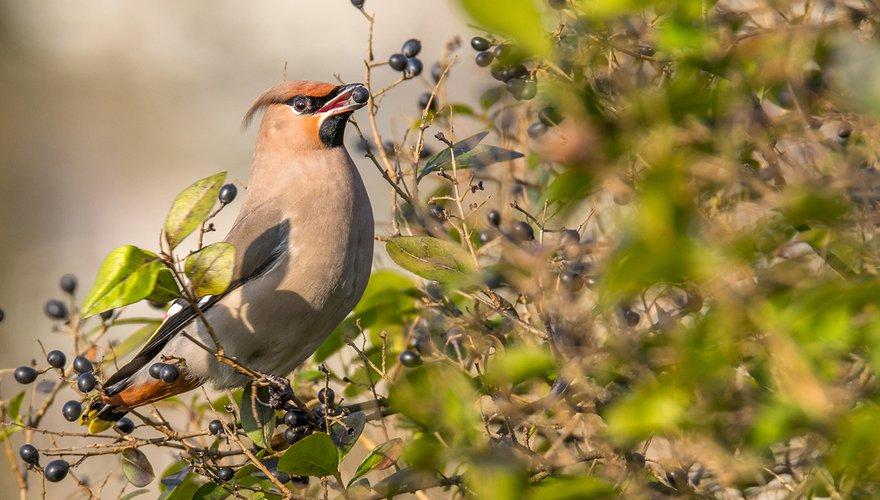 Pestvogel / Hans Peeters