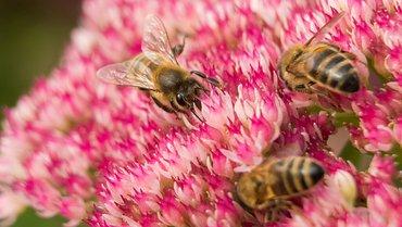 Hemelsleutel met bijen / Hans Peeters