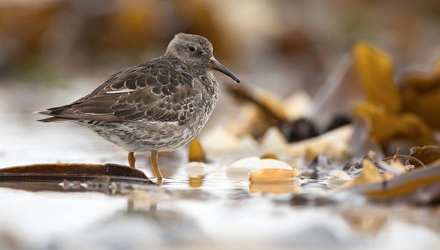 Paarse strandloper / Shutterstock