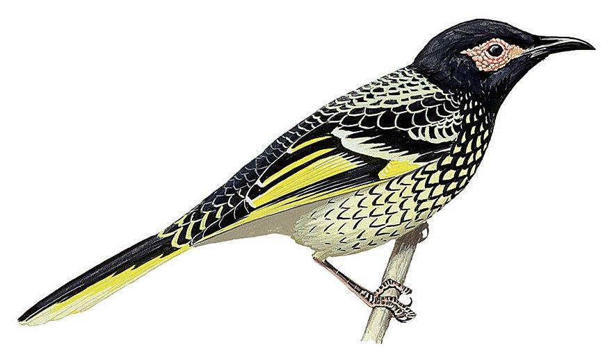Geschubde lelhoningeter / BirdLife
