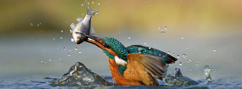 IJsvogel met vis / Shutterstock