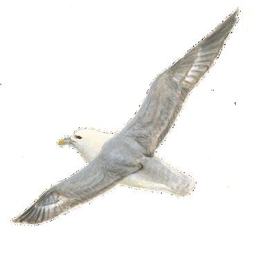 Noordse stormvogel / Elwin van der Kolk