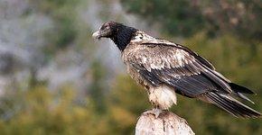 Lammergier jong / Birdphoto
