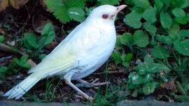Jonge albino zanglijster / Frans van de Waal