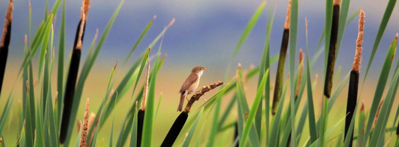 Kleine karekiet / Shutterstock