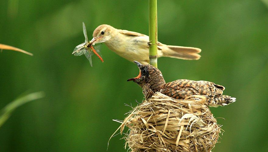 Kleine karekiet en koekoek / Shutterstock