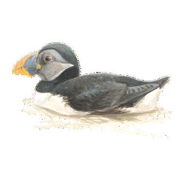 Papegaaiduiker / Elwin van der Kolk