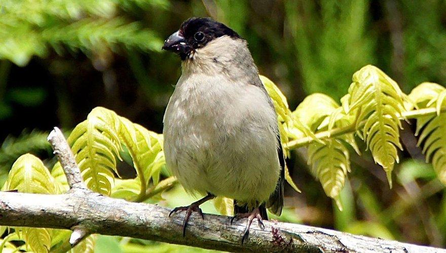Azorengoudvink / BirdLife - putneymark
