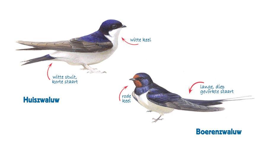 Infographic huiszwaluw en boerenzwaluw