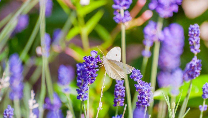 Koolwitje op lavendel / Shutterstock