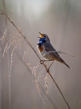 Blauwborst zingend in het vroege ochtendlicht