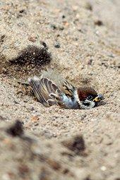 Zandbad ringmus / Shutterstock