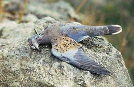 Zomertortel / BirdLife