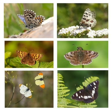butterfly families