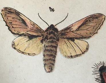 Het kameeltje uit de vlinderatlas van Hoogeveen