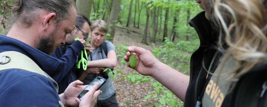 De vondst van de mijn van Paracrania chrysolepidella